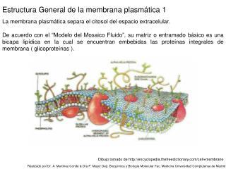 La membrana plasmática separa el citosol del espacio extracelular.