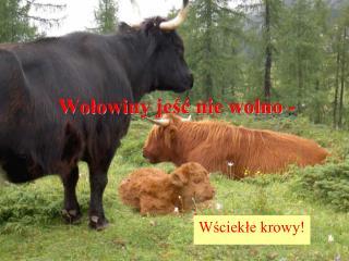 Wołowiny jeść nie wolno -