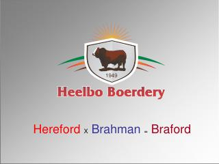 Hereford X Brahman = Braford