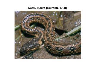Natrix maura  ( Laurenti , 1768)