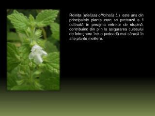 Deşi sunt mici şi cresc la subsoara frunzelor, florile sunt uşor accesibile albinelor