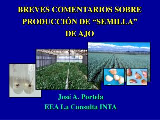 """BREVES COMENTARIOS SOBRE PRODUCCIÓN DE """"SEMILLA"""" DE AJO"""