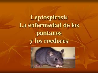 Leptospirosis La enfermedad de los pantanos y los roedores