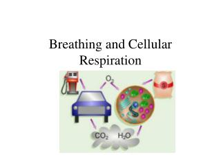 Breathing and Cellular Respiration