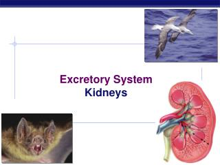 Excretory System Kidneys