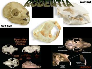 ProtrogomorphousAplodontidaeHystricomorphousErethrizontidaeSciuromorphousSciuridae CastoridaeMyomorphousHeteromyidaeGeom