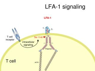 LFA-1 signaling