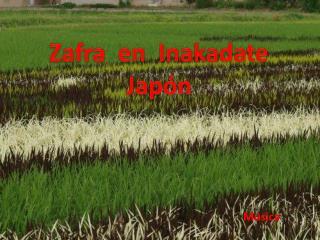 Zafra  en   Inakadate  Jap�n