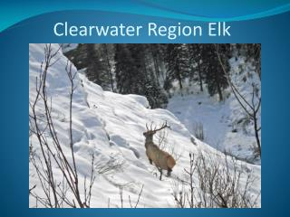 Clearwater Region Elk