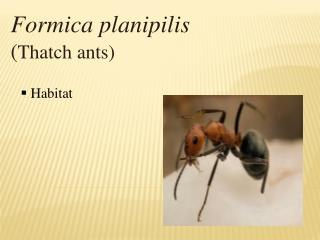 Formica planipilis  ( Thatch ants)