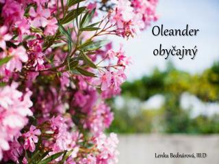 Oleander  obyčajný