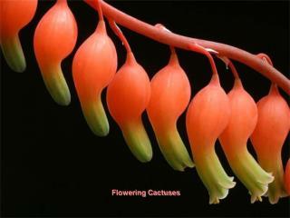Flowering Cactuses