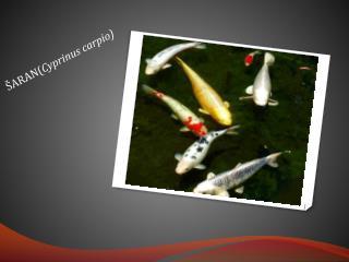 ŠARAN( Cyprinus carpio )