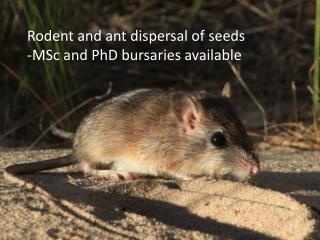 Rodent and ant dispersal of seeds -MSc and PhD bursaries available