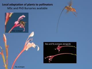 Local adaptation of plants to pollinators MSc and PhD Bursaries available