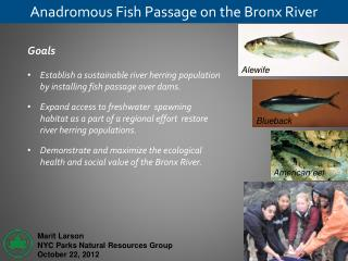 Anadromous Fish Passage on the Bronx River