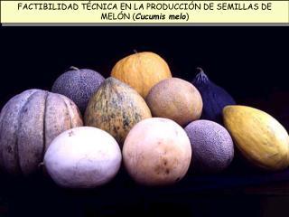FACTIBILIDAD TÉCNICA EN LA PRODUCCIÓN DE SEMILLAS DE MELÓN ( Cucumis melo )