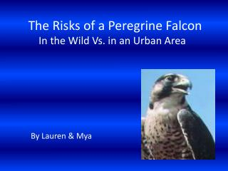 The Risks of a Peregrine Falcon          In the Wild Vs. in an Urban Area