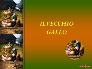 IL VECCHIO GALLO