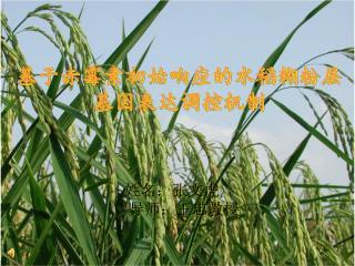 基于赤霉素初始响应的水稻糊粉层 基因表达调控机制
