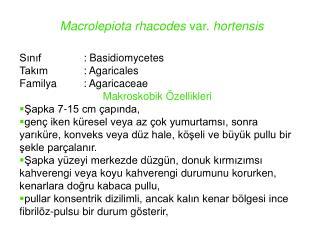 Macrolepiota rhacodes  var.  hortensis