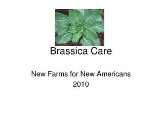 Brassica Care