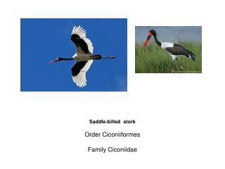 Saddle-billed  stork Order Ciconiiformes Family Ciconiidae