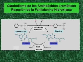 Catabolismo de los Amino�cidos arom�ticos Reacci�n de la Fenilalanina Hidroxilasa