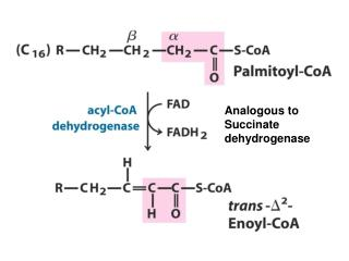 Analogous to Succinate dehydrogenase