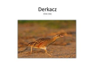 Derkacz ( Crex crex )