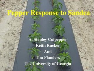 Pepper Response to Sandea