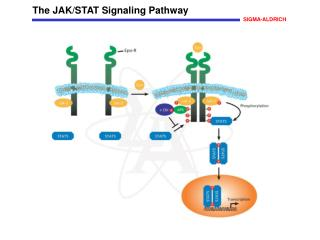 The JAK/STAT Signaling Pathway