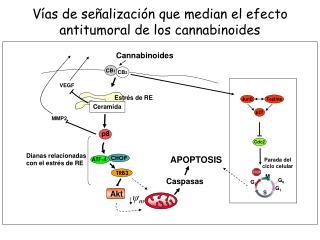 Vías de señalización que median el efecto antitumoral de los cannabinoides