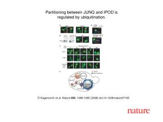 D Kaganovich et al. Nature 454 , 1088-1095 (2008) doi:10.1038/nature07195