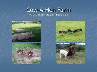"Cow-A-Hen Farm ""We use Herbivores not Herbicides"""
