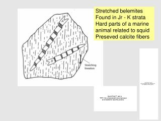 Stretched belemites Found in Jr - K strata Hard parts of a marine animal related to squid