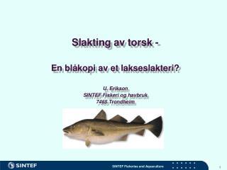 Slakting av torsk -  En blåkopi av et lakseslakteri? U. Erikson SINTEF Fiskeri og havbruk