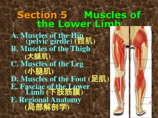 Section 5      Muscles of the Lower Limb