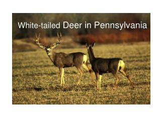 White-tailed Deer in Pennsylvania