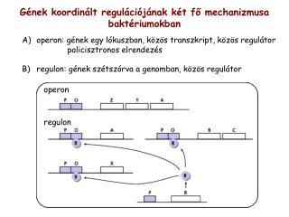 G�nek koordin�lt regul�ci�j�nak k�t f? mechanizmusa bakt�riumokban