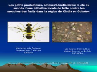 Mouche des fruits,  Bactrocera invadens  d'après G. Georgen  IITA-BENIN