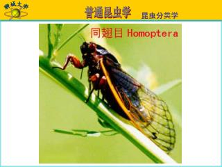 同翅目 Homoptera