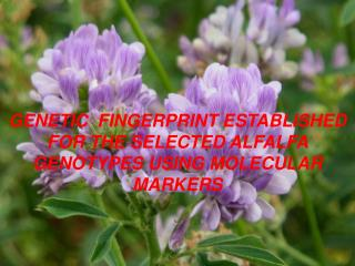 GENETIC   FINGERPRINT ESTABLISHED FOR THE SELECTED ALFALFA GENOTYPES USING  MOLECULAR MARKERS