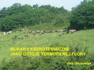 MURAWY KSEROTERMICZNE  JAKO OSTOJE TERMOFILNEJ FLORY Ewa Wachowiak