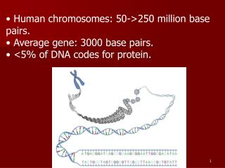Human chromosomes: 50->250 million base pairs.  Average gene: 3000 base pairs.