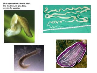 Filo Platyhelminthes: animais de via livre (marinhos, de água doce, terrestres) e parasitas.