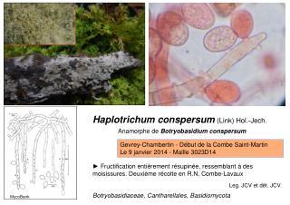 Haplotrichum conspersum (Link) Hol.-Jech.