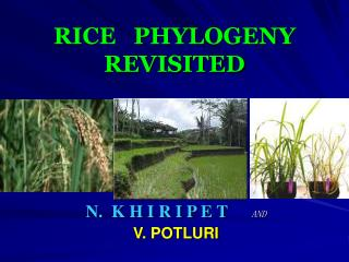 RICE   PHYLOGENY REVISITED