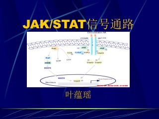 JAK/STAT 信号通路 叶蕴瑶