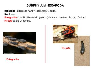 SUBPHYLUM HEXAPODA